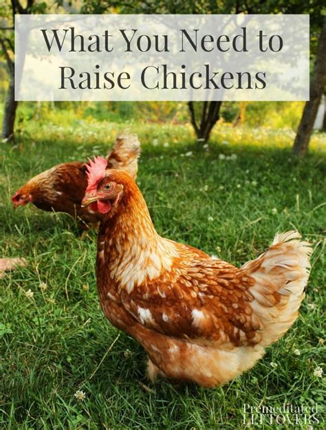 what you need to raise chickens