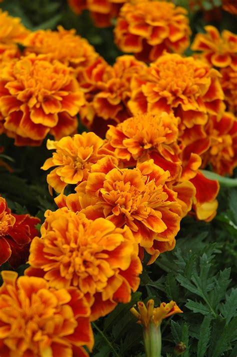 marigolds shade 25 best ideas about annual plants on pinterest