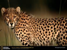How Many Jaguars Are Left In The World Beautiful Animals Safaris Cheetah Speed