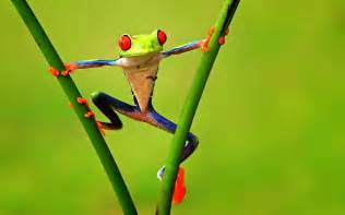 frog from colors animals frogs green contrast colors nature wallpaper