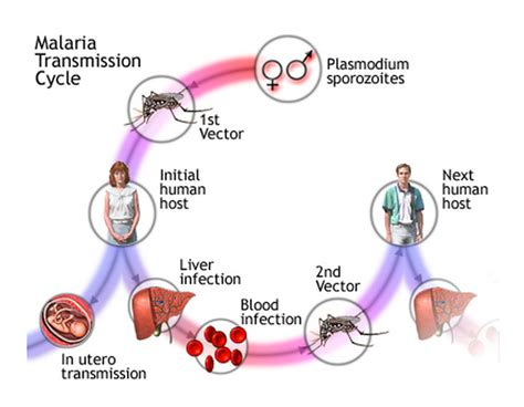 pathophysiology of malaria diagram 55 infectious diseases and antibiotics biology notes