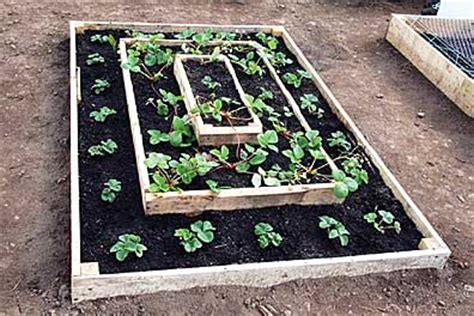 growing strawberries in raised beds the clermont sun 187 let s grow steve boehmesucceeding with