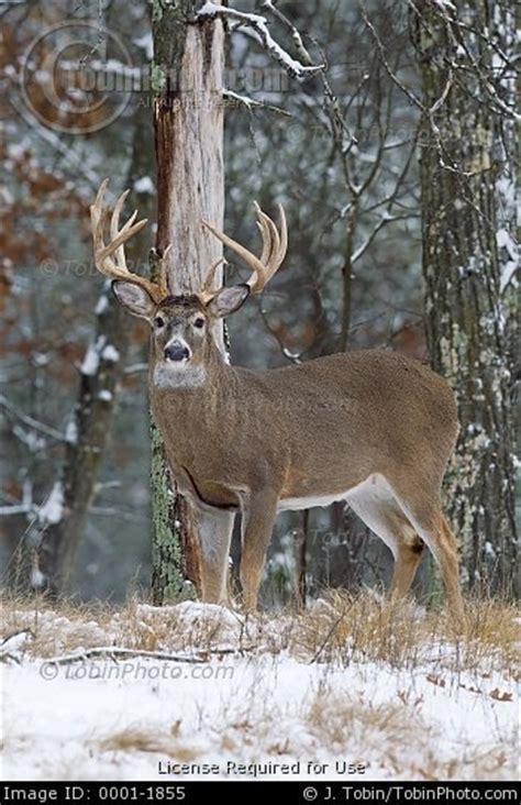 wood bucks big buck in snow at edge of woods