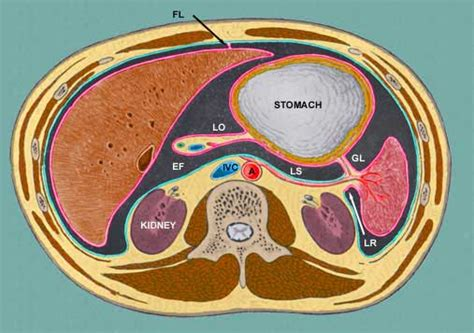 transverse and longitudinal sections of the abdominal cavity general inspection of the abdominal cavity and its contents