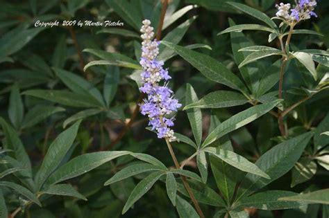 Making Flowers by Vitex Agnus Castus Chaste Tree California Gardens