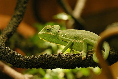chameleons as pets an overview of their natural history and captive care