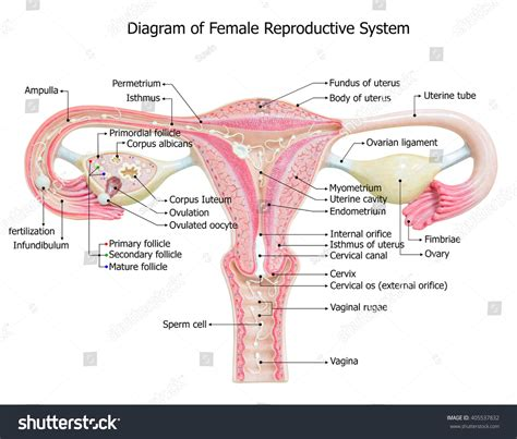 womens diagram reproductive system image diagram stock photo