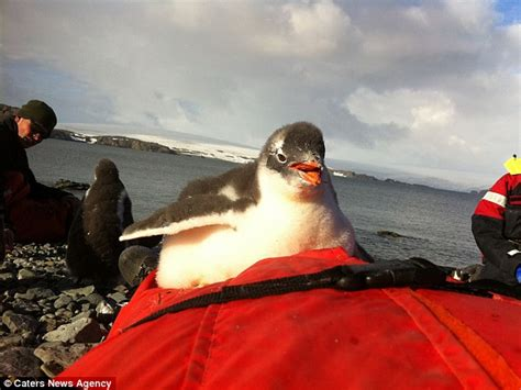 Traveller Pinguin u s traveller joel oleson is swarmed by baby penguins daily mail