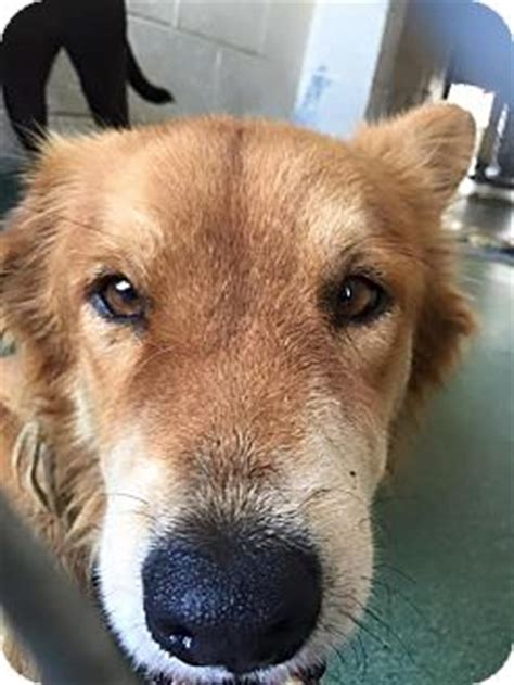 golden retriever rescue la golden retriever rescue by la sheriff reserves after became breeds picture