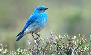 bluebird animal wildlife