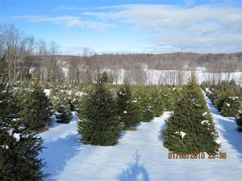 christmas tree farms upstate ny tree farms in the albany ny area out and about albany