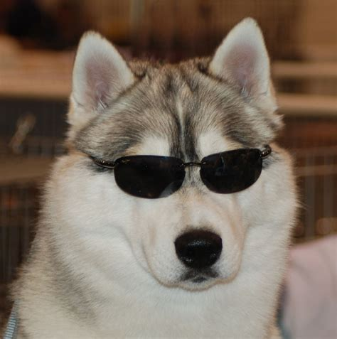 husky con occhi diversi husky bianco e marrone wroc awski informator internetowy
