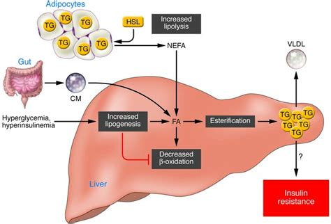Your Liver Is Already Detoxed by Hepatic Lipid Metabolism Images Frompo 1