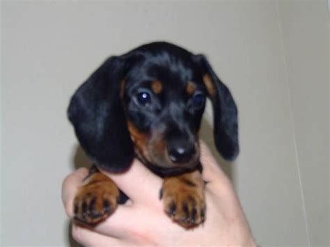 cheap dachshund puppies for sale the 25 best miniature dachshund for sale ideas on miniature dachshunds