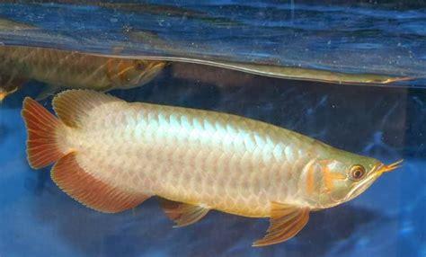 Arwana Golden 15cm akuarium unik cara membedakan arwana banjar golden