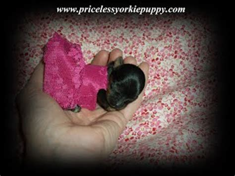 teacup yorkie health issues teacup terrier health information priceless yorkie puppy