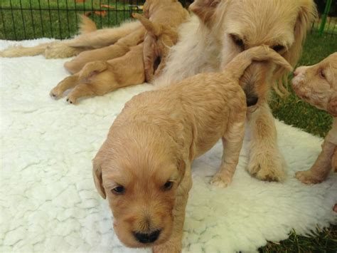weaning puppies at 5 weeks weaning puppies at 3 weeks wiltshire labradoodles