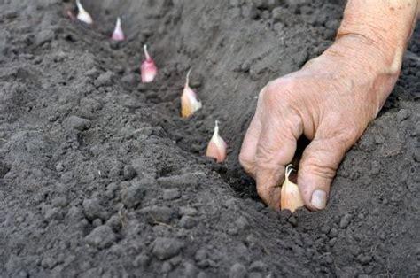 piantare aglio in vaso come coltivare l aglio in balcone in 6 mosse
