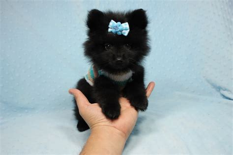 found pomeranian teacup pomeranian puppy found his loving home with in midway city