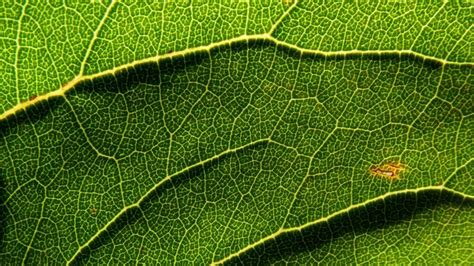 venation pattern analysis of leaf images what is parallel venation reference com