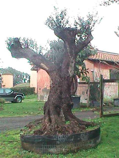 prezzi ulivi da giardino prezzi piante di ulivo stock lotti da c a piante di olea