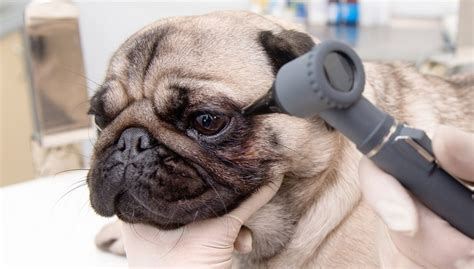 eye problems in dogs 7 common eye problems in dogs how to prevent and deal with them