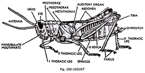 cricket anatomy diagram structure of locust schistocerca with diagram zoology