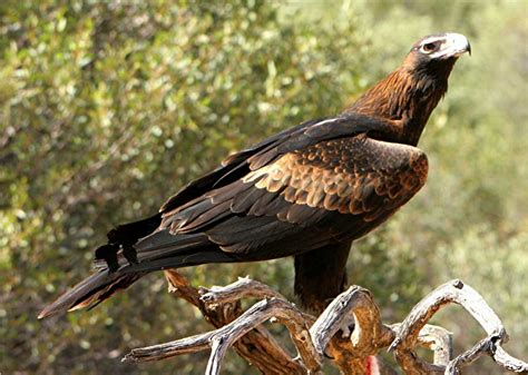 Australian Wedge Tailed Eagle Gives You Some Ideas Of The - an australian swagman using a hollow gum tree as a