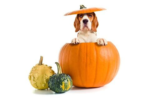 can dogs eat pumpkin are these thanksgiving foods okay for your to eat
