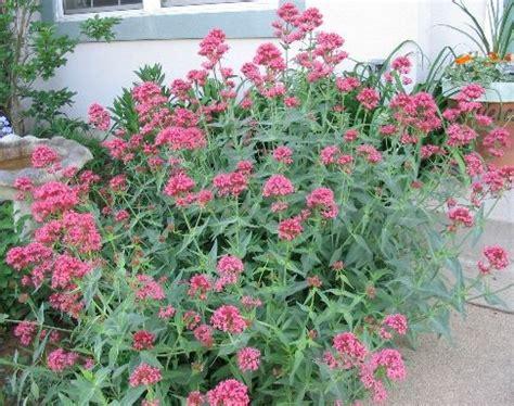 jupiter s beard or red valerian aka centranthus ruber a