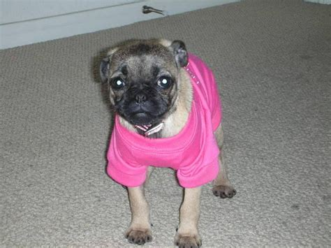 pug chihuahua mix for sale chihuahua pug mix adorable must see for sale adoption from