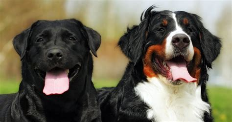 bernese mountain lab mix labernese the bernese mountain lab mix the happy puppy site