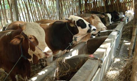 Sukses Bisnis Dan Beternak Sapi Potong tips memulai usaha ternak sapi sakado investasi