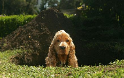 how to keep dogs from digging stop dogs digging holes how to keep domestic dogs from digging fences
