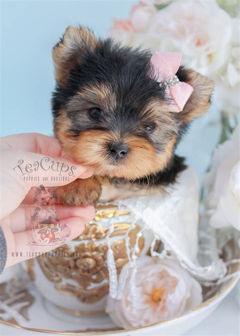teacup yorkie puppies for sale teacup puppies for sale at teacups puppies and boutique