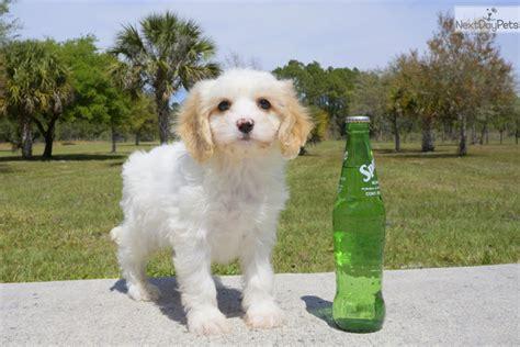 cavachon puppies florida cavachon puppy for sale near sarasota bradenton florida 5b9ebf3a f3c1