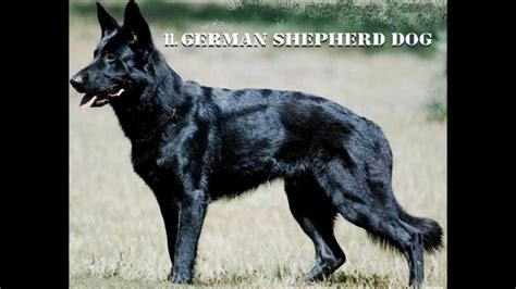 best protection dogs best guard dogs breeds protection breeds picture