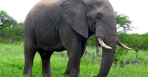 desain gambar gajah 60 gambar hewan gajah badak dan jerapah sealkazz blog