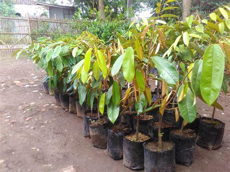Bibit Durian Bawor Murah jual bibit durian montong kualitas terbaik murah bergaransi