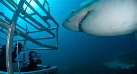 great white shark attacks cage heart pounding video great white shark attacks mossel bay