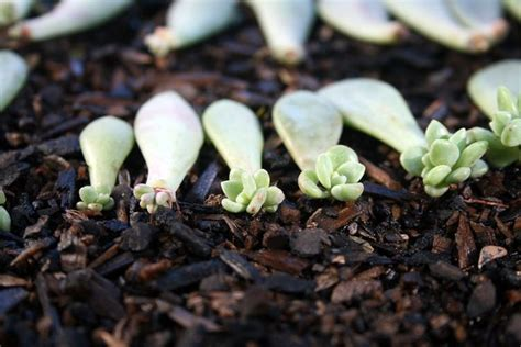 propagating succulents can be done by using the offsets