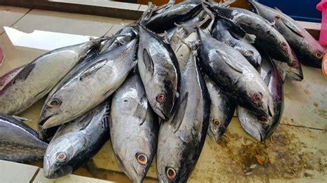 Minyak Ikan Di Jogja yuk kenali ekosistem pelagis di lautan indonesia a t p j