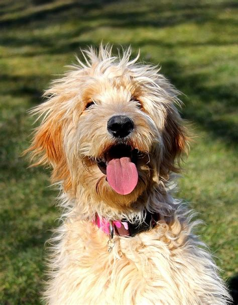 goldendoodle puppy hair 130 best images about golden doodle grooming styles on
