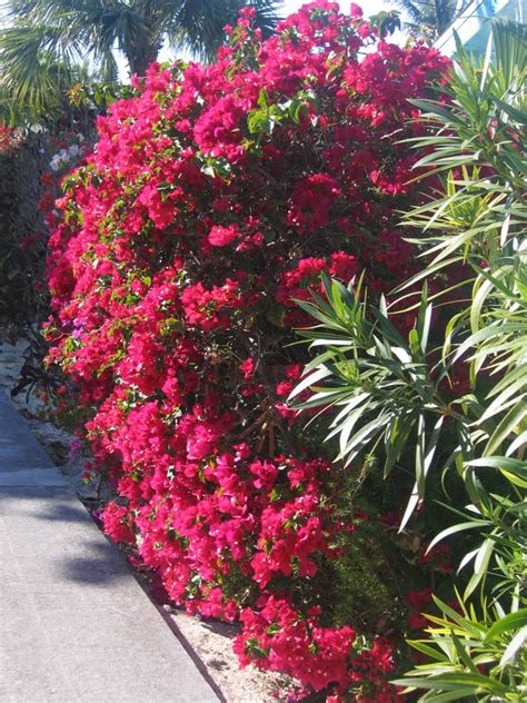 privacy flowering hedges fast growing pictures to pin on pinterest pinsdaddy