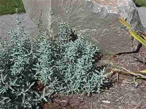 planning  moon garden silver herbs