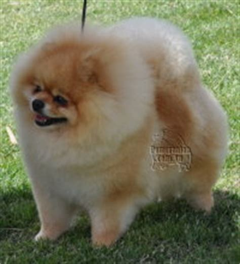 different kinds of pomeranians types of pomeranians pomeranian information care pictures