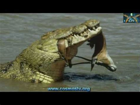 big hippo chasing boat man eating nile crocodile found in south florida youtube