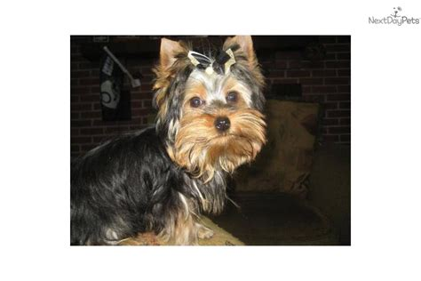 10 lb yorkie terrier yorkie puppy for sale near muncie indiana 38c61a82 9c21
