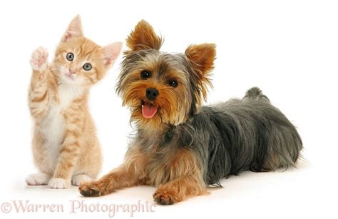 yorkie and cats pets yorkie and kitten photo wp26640