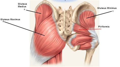 buttock muscles diagram here are the 19 best glute exercises and workouts of all